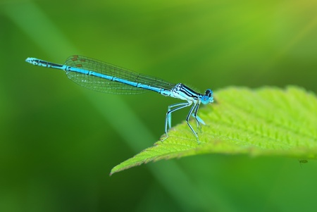Dragonfly on green leaf. Nature composition.  photo