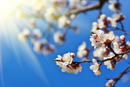 Sakura branch. Element of design. Stock Photo - 14040377