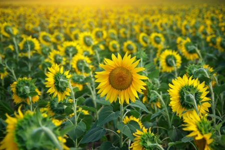 another: Individual sunflower. Meadow of sunflowers.