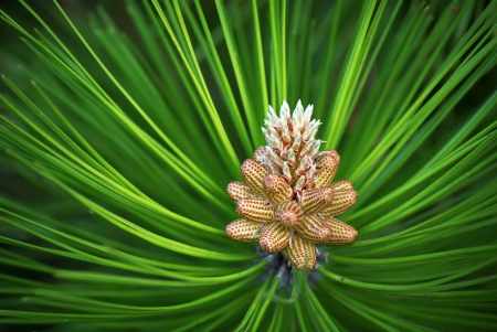 Young cones of spruce. Nature composition.