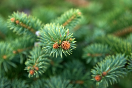 Young spruce. Nature composition. Stock Photo - 14790559