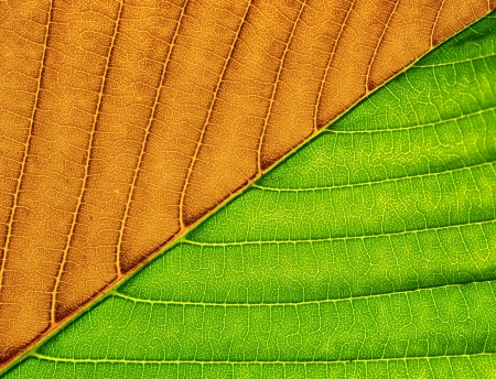 Two face leaf. Element of design.  photo