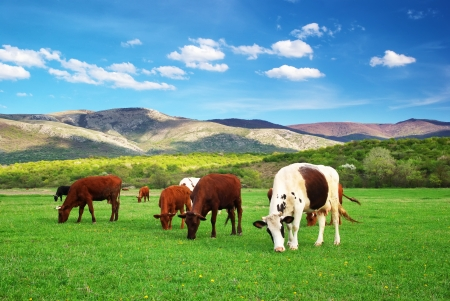 Cow on green meadow  Nature composition  real  Stock Photo - 14790680