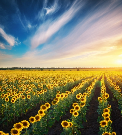field sunset: Field of sunflowers. Composition of nature.  Stock Photo