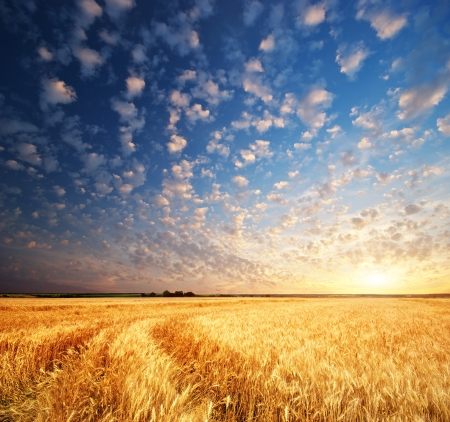 Meadow of wheat. Nature composition. Stock Photo