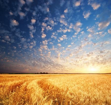 Prairie de blé. Composition de la nature. Banque d'images