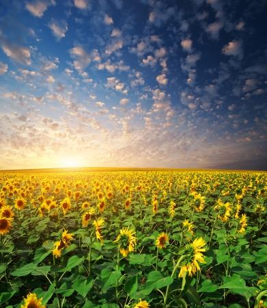 Grand champ de tournesols. Composition selon la nature.
