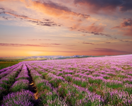 Meadow of lavender. Nature composition. Stock Photo - 17723251