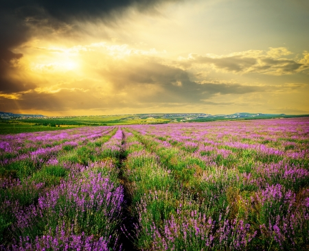 clouds  garden: Meadow of lavender. Nature composition.