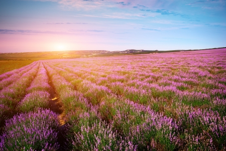 provence: Meadow of lavender. Nature composition.