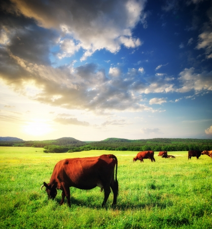 domestic cattle: Cow on green meadow. Nature composition.