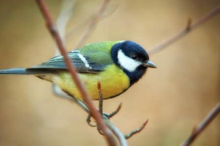 Tomtit bird portrait. Nature composition. Stock Photo - 20017011