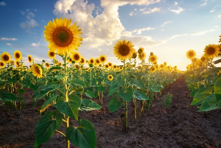 a sunflower: Field of sunflowers. Composition of nature.  Stock Photo