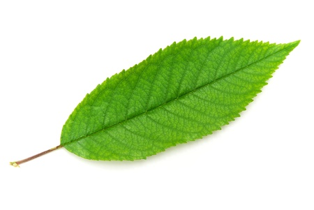 grass roots: Isolated green leaf of tree. Element of design.