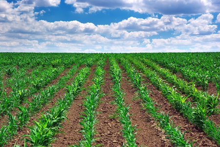 potato tree: Green meadow of rows. Nature composition. Stock Photo
