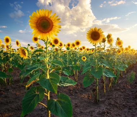 sunflower field: Field of sunflowers. Composition of nature.  Stock Photo