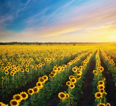 sunflowers field: Field of sunflowers. Composition of nature. Stock Photo