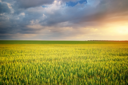 Meadow of wheat. Composition of nature.