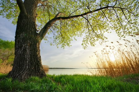 beautiful scenery: Old big tree. Spring nature composition.