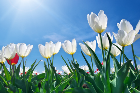 Tulips on blue sky. Composition of nature. photo