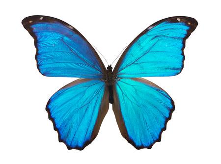 Butterfly morpho  Element of design  Фото со стока