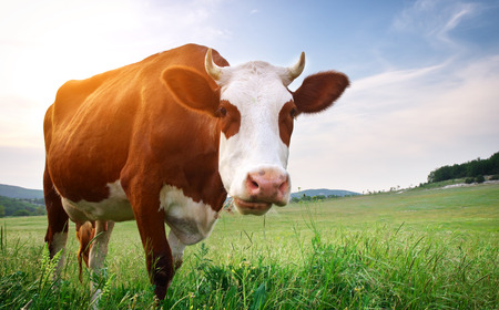 closeup cow face: Cow in meadow  Nature composition