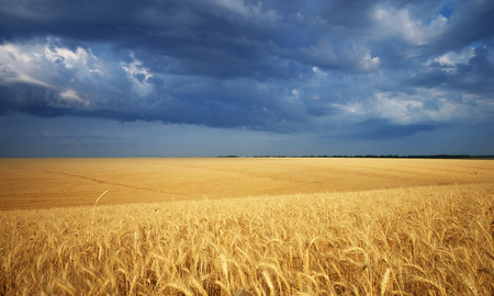Meadow of wheat  Nature composition  photo