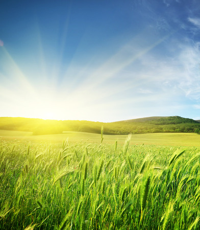 green land: Meadow of wheat. Nature composition. Stock Photo