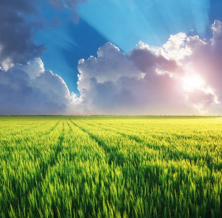 cultivo de trigo: Dehesa de trigo. Naturaleza composición.
