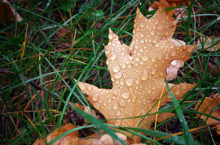 Autumn leaf and drops. Nature composition. photo