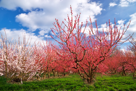 Orchard garden. Rows of trees. Nature composition. photo