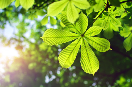 Spring leaf of chestnut. Nature composition. Фото со стока - 27975556
