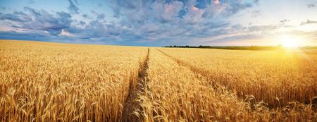 小麦の草原。自然成分を使用。