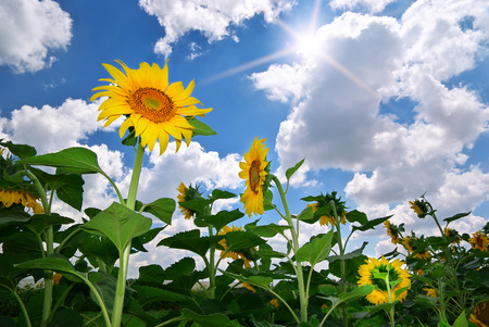blue ray: Big meadow of sunflowers. Design of nature. Stock Photo