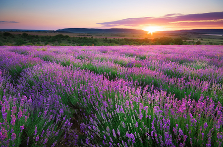 landscape: Meadow of lavender. Nature composition.