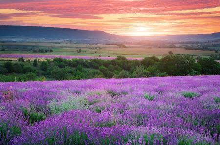 Meadow de lavande. Composition de la nature. Banque d'images - 30437173