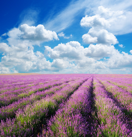 Meadow of lavender. Nature composition. Stock Photo - 31273923