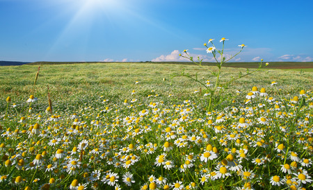 Daisy meadow. Composition of nature. photo