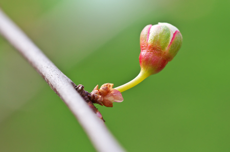spring bud: Spring bud of tree. Nature composition.