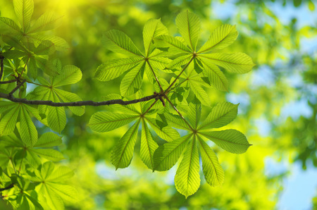 Spring leaf of chestnut. Nature composition. Stock Photo - 38428159