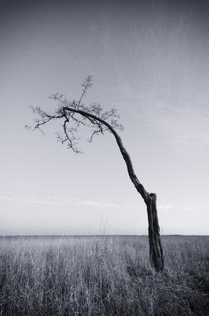 dead wood: Lonely dead tree. Art nature.