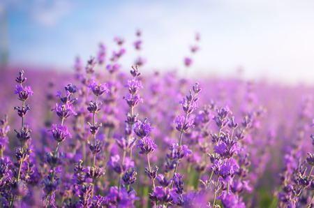 flowers field: Lavender closeup. Composition of nature.