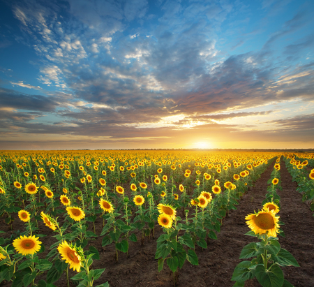 sunset clouds: Field of sunflowers. Composition of nature. Stock Photo