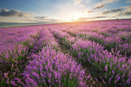 campo de flores: Prado de la lavanda. Composición de la naturaleza.