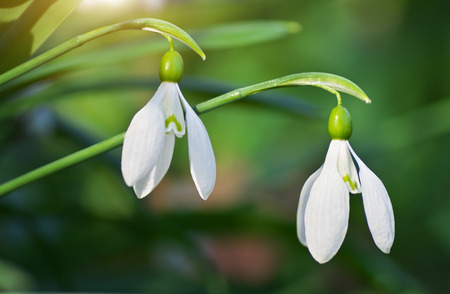 galanthus: Snowdrop macro and nature composition. Stock Photo