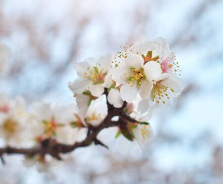 almond bud: Spring flower on tree. Element of design. Stock Photo