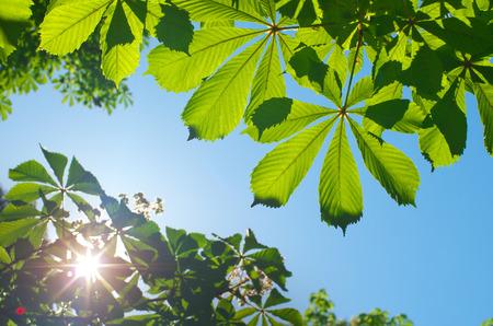 spring leaf: Spring leaf of chestnut. Nature composition.