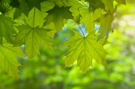 spring leaf: Spring leaf of maple. Composition of nature. Stock Photo