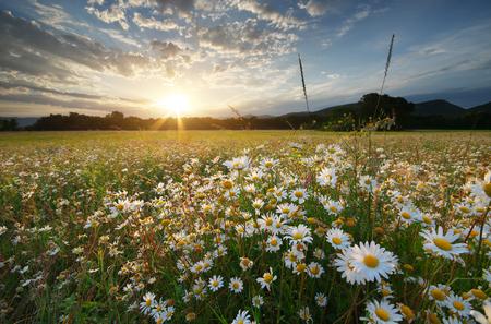 daisywheel: Spring daisy flowers  in meadow. Beautiful landscapes.