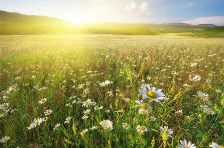 Fleurs de printemps de marguerite dans le pré. De beaux paysages.